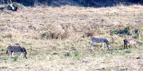 zebras_warthog500.jpg